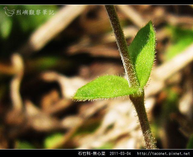 石竹科-無心菜_16.jpg