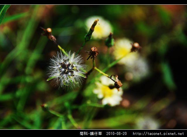 菊科-鵝仔草_03.jpg
