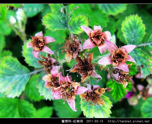 薔薇科-紅梅消_09.jpg