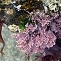 大邊孢藻.jpg