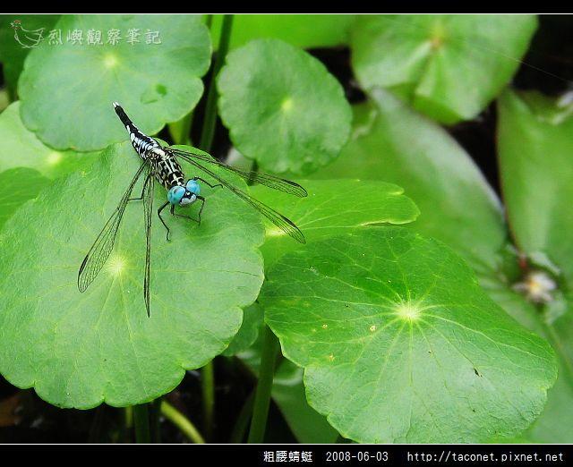 粗腰蜻蜓_05.jpg