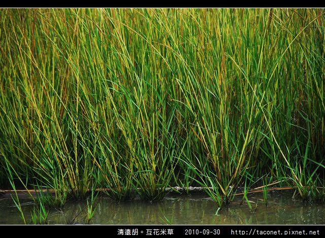 互花米草在清遠湖_04.jpg