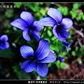 堇菜科-菲律賓堇菜_11.jpg