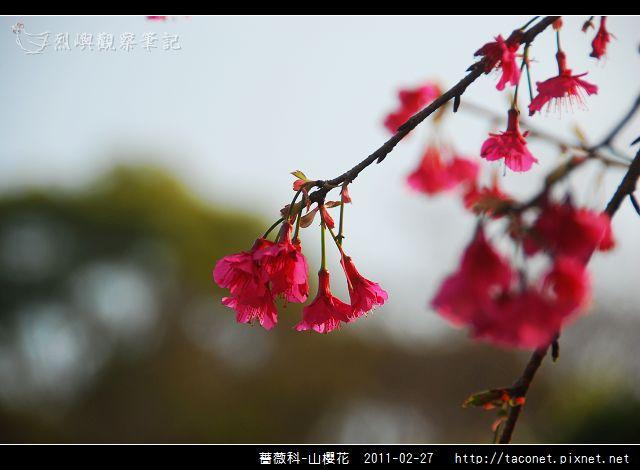 薔薇科-山櫻花_29.jpg
