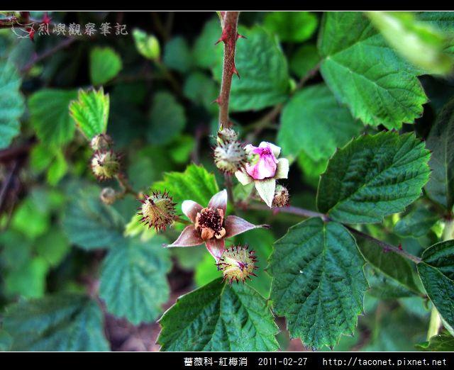 薔薇科-紅梅消_04.jpg