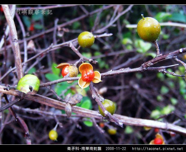 衛矛科-南華南蛇藤_11.jpg