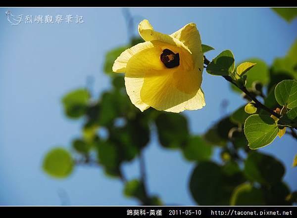 錦葵科-黃槿_05.jpg