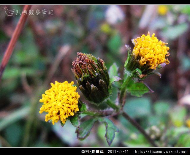 菊科-咸豐草_14.jpg