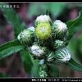 菊科-日本假蓬_06.jpg