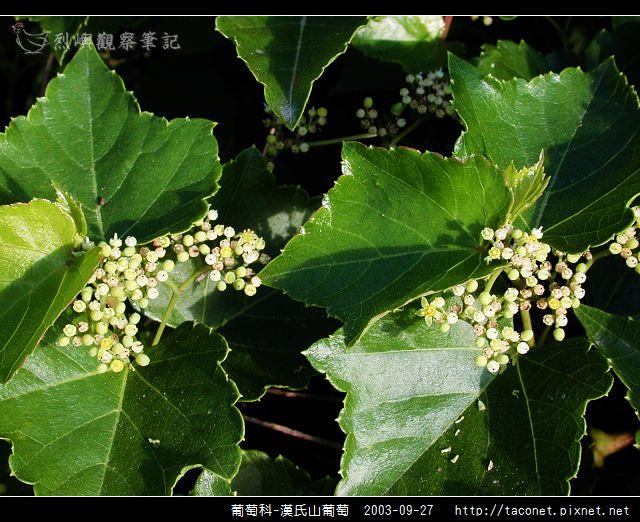 葡萄科-漢氏山葡萄_01.jpg