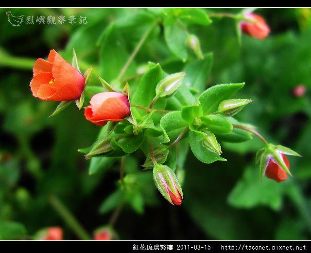 紅花琉璃繁縷-11.jpg