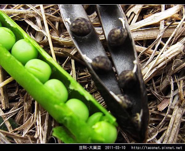 豆科-大巢菜_11.jpg