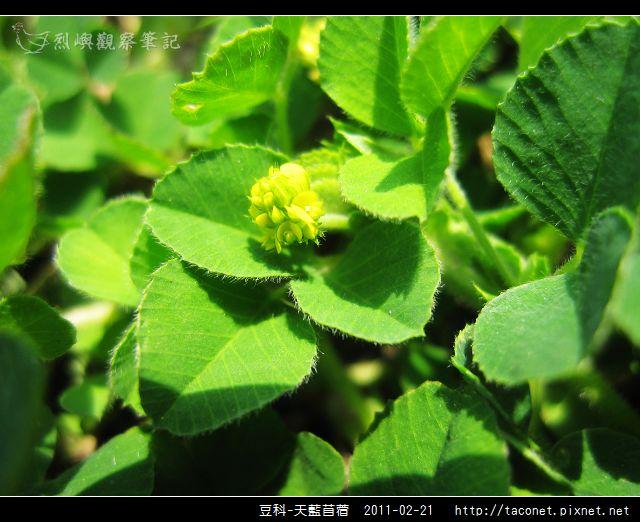 豆科-天藍苜蓿_03.jpg