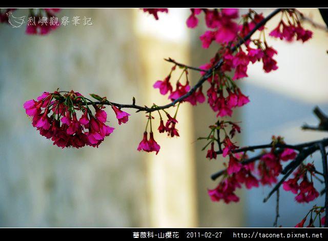 薔薇科-山櫻花_24.jpg