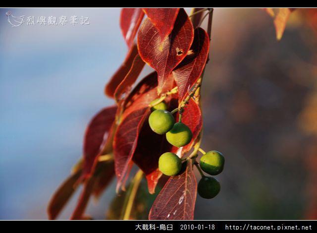 大戟科-烏臼_14.jpg