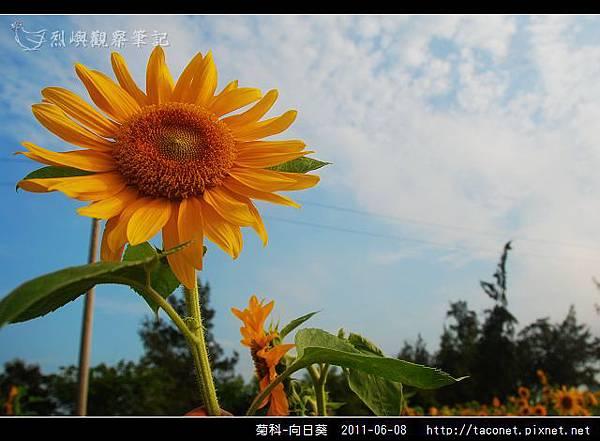 菊科-向日葵_20.jpg