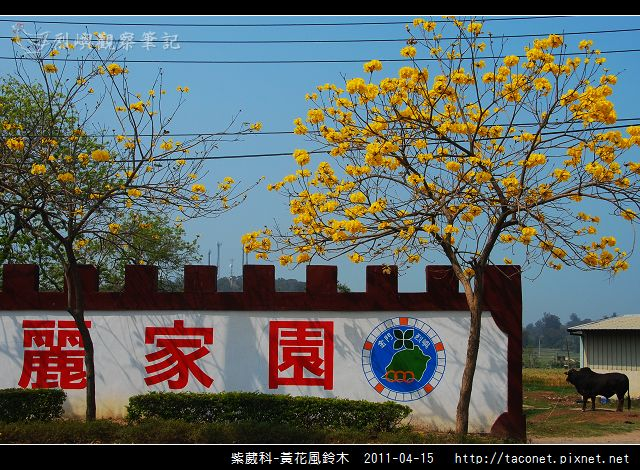 紫葳科-黃花風鈴木_20.jpg