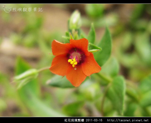 紅花琉璃繁縷-12.jpg