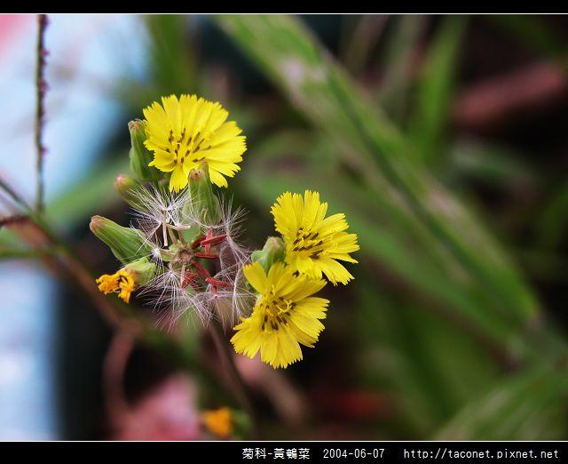菊科-黃鵪菜_09.jpg