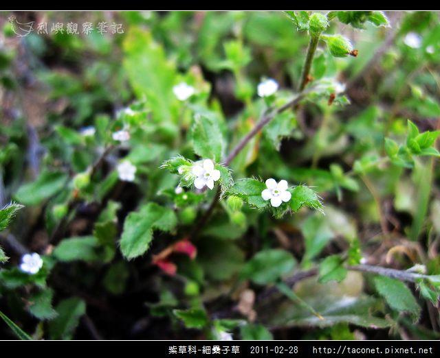 紫草科-細纍子草_01.jpg