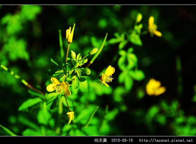 向天黃_03.jpg