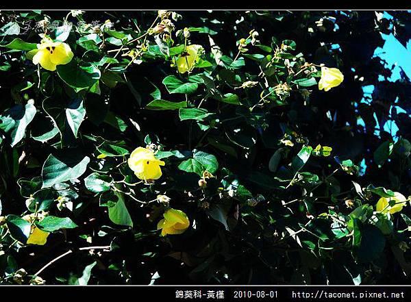 錦葵科-黃槿_11.jpg