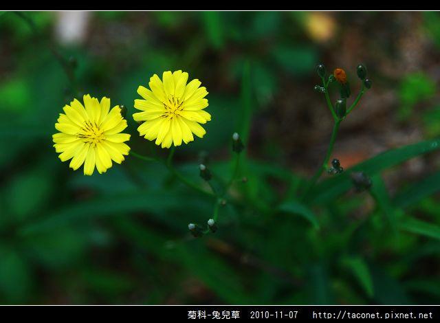 菊科-兔兒草_02.jpg