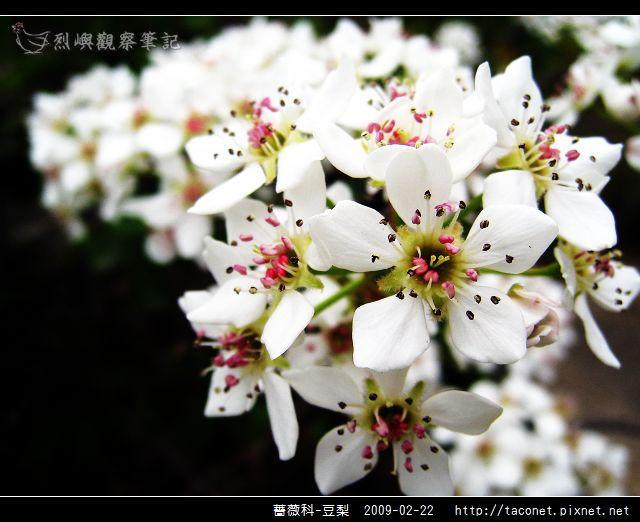 薔薇科-豆梨_14.jpg
