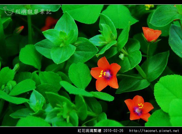 紅花琉璃繁縷-01.jpg