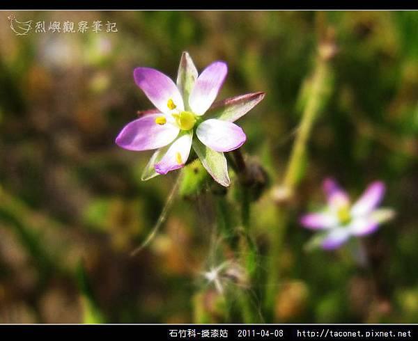 石竹科-擬漆姑_13.jpg