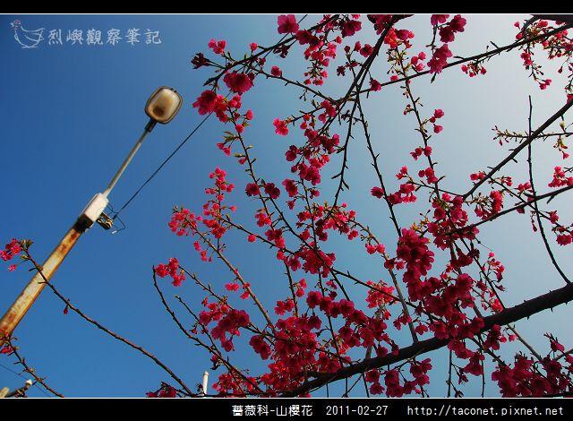 薔薇科-山櫻花_18.jpg
