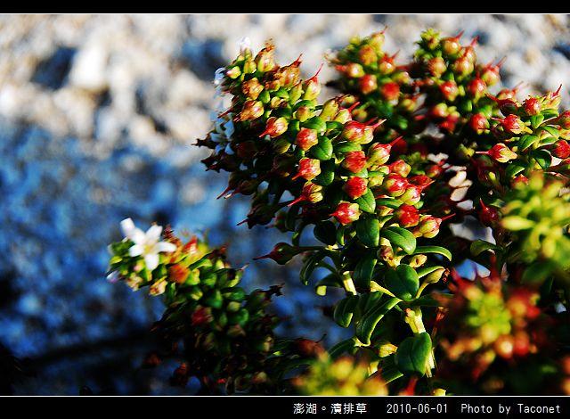 澎湖。濱排草_03.jpg