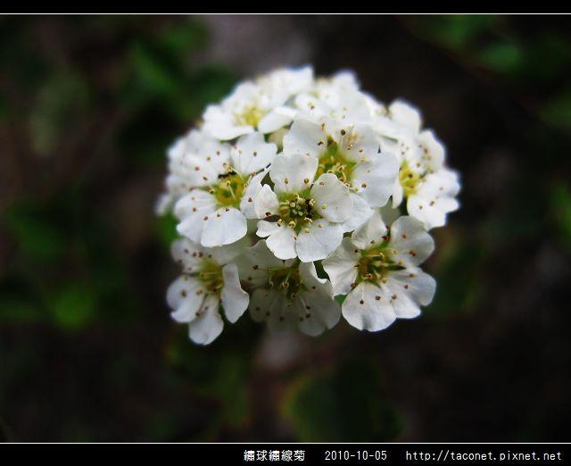 繡球繡線菊_05.jpg
