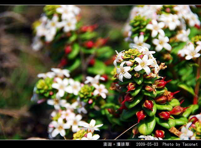 澎湖。濱排草_07.jpg