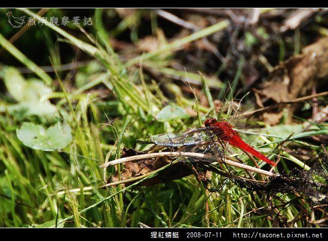 猩紅蜻蜓_01.jpg