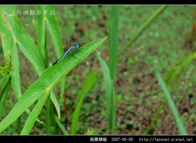 粗腰蜻蜓_03.jpg