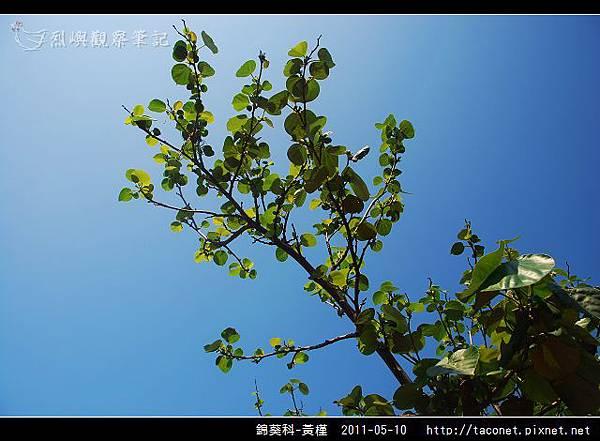 錦葵科-黃槿_03.jpg
