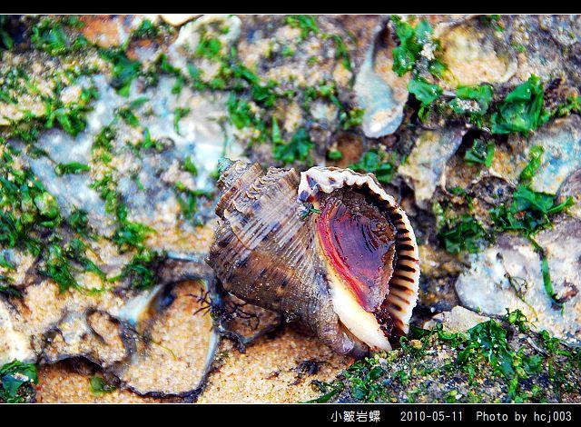 小皺岩螺_02.jpg