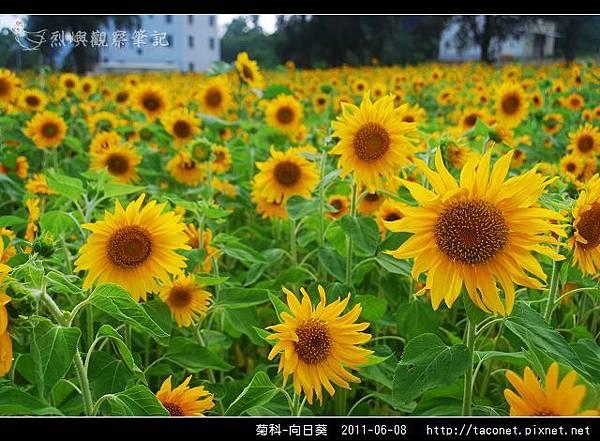 菊科-向日葵_13.jpg