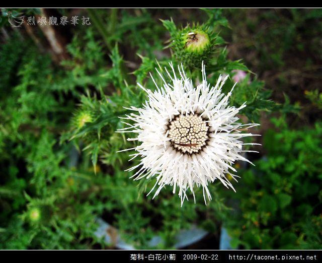 菊科-白花小薊_06.jpg
