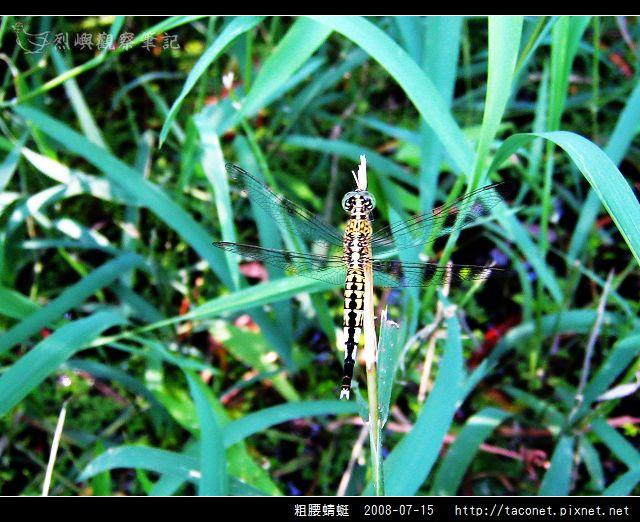 粗腰蜻蜓_09.jpg
