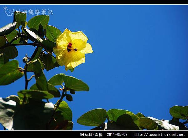錦葵科-黃槿_14.jpg