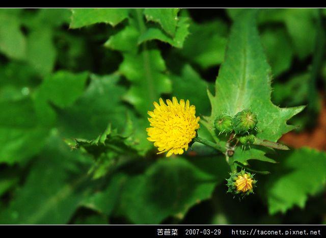 苦苣菜_01.jpg