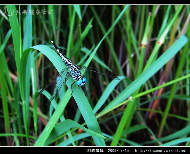 粗腰蜻蜓_08.jpg
