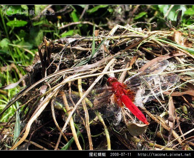 猩紅蜻蜓_07.jpg