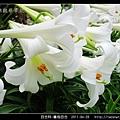 百合科-鐵炮百合_27.jpg