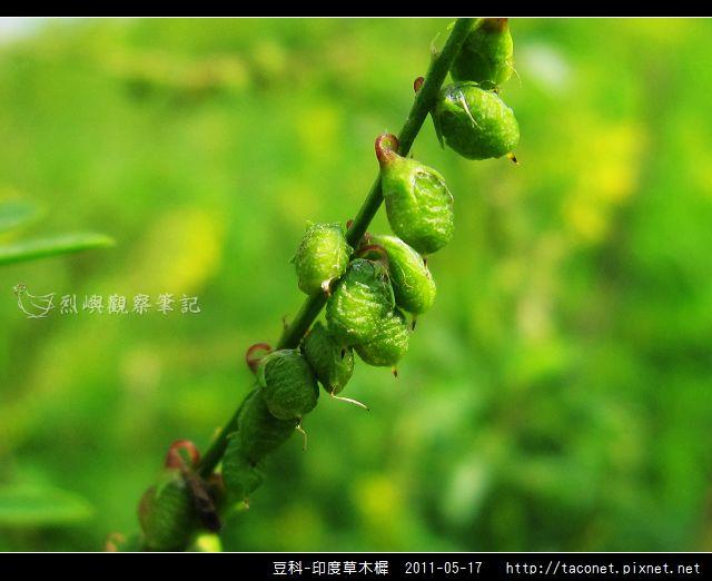 豆科-印度草木樨_15.jpg