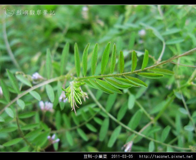 豆科-小巢菜_11.jpg