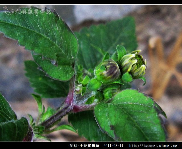 菊科-小花咸豐草_11.jpg