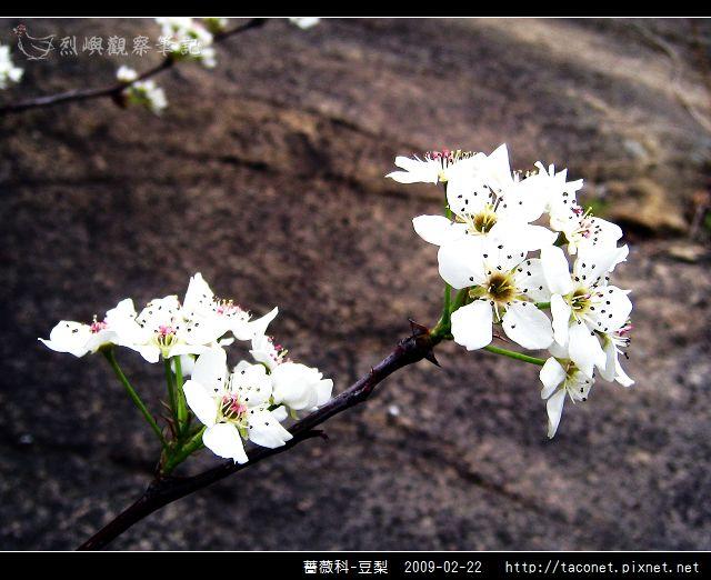 薔薇科-豆梨_17.jpg